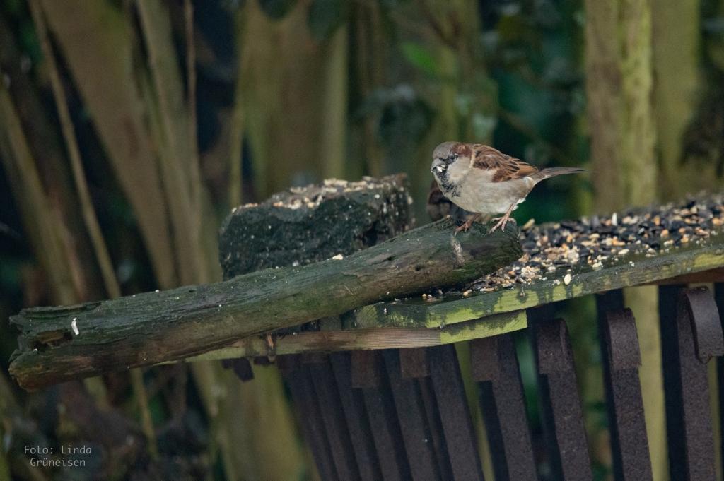 Wildvögel im winterlichen Garten - Spatz